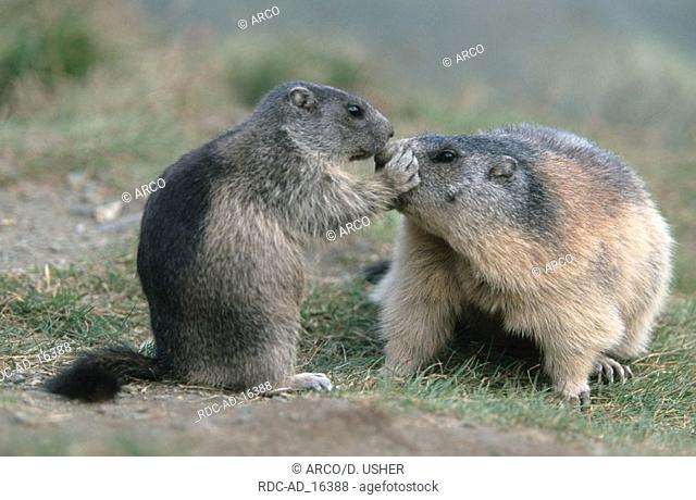 Alpine Marmot with young Austria Marmota marmota