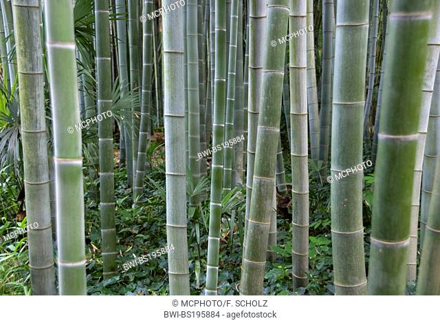 Bambouseraie de Prafrance, bamboo forest, France, CÚvennes, Languedoc-Roussillon, Anduze