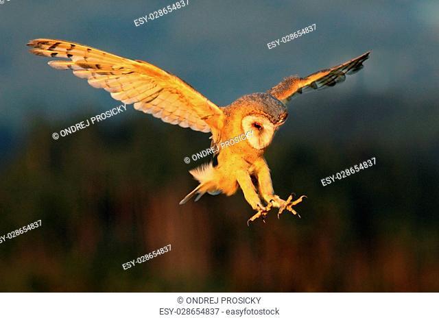 Barn Owl, nice light bird in flight