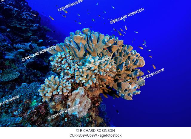 Reef fish hover over a coral head at Palmerston Atoll, Cook Islands