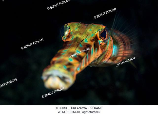 Bluespotted Cornetfish, Fistularia tabacaria, Palm Beach, Florida, USA