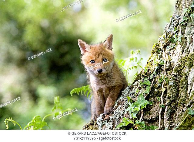 Red Fox, vulpes vulpes, Cub, Normandy