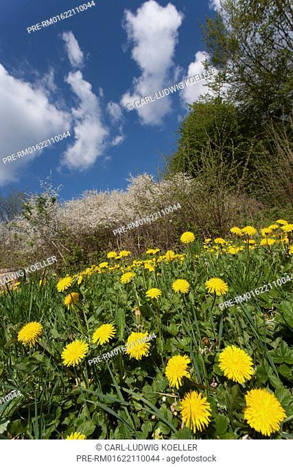 Dandelion meadow, Wittenhagen, Feldberger Seenlandschaft, Mecklenburgische Seenplatte district, Mecklenburg-Vorpommern, Germany / Löwenzahnwiese, Wittenhagen