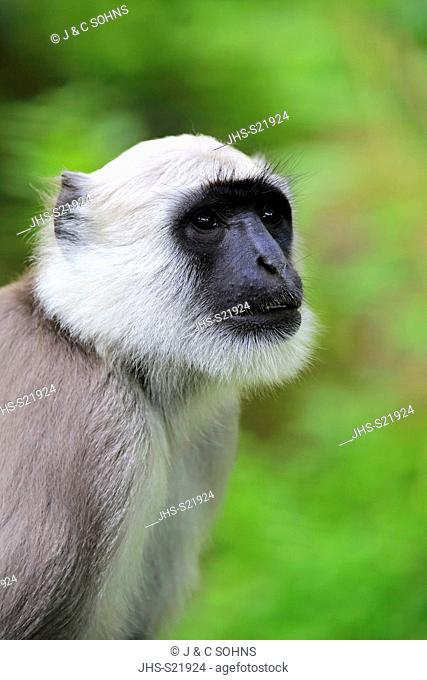 Northern Plains Gray Langur, (Semnopithecus entellus), adult portrait, Asia