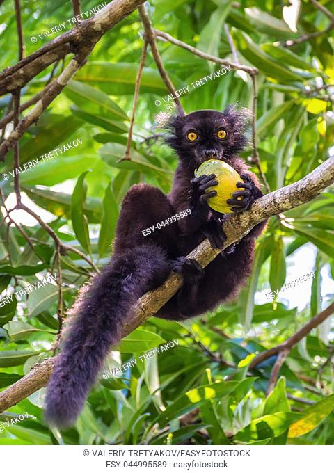 Close up portrait of black Lemur eating mango on Lokobe Strict Nature Reserve in Nosy Be, Madagascar, Africa