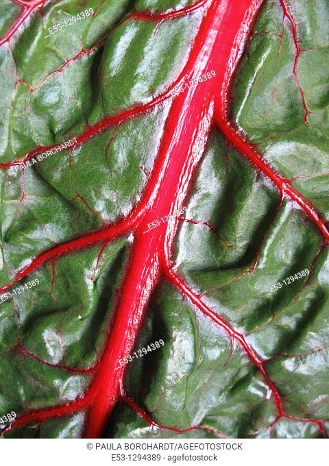 OrganicSwiss chard from CSA Community Supported Agriculture, Tucson, AZ