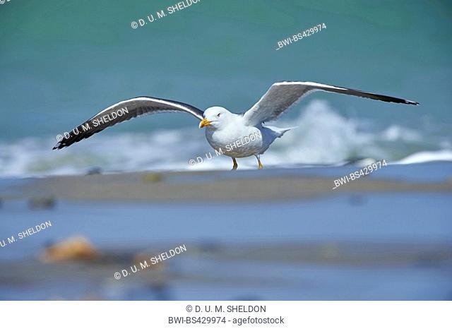 lesser black-backed gull (Larus fuscus), lands on the beach, Germany, Schleswig-Holstein, Heligoland