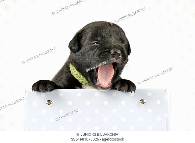 Mixed-breed dog. Puppy (4 weeks old) in a box, yawning. Studio picture against a white background. Germany
