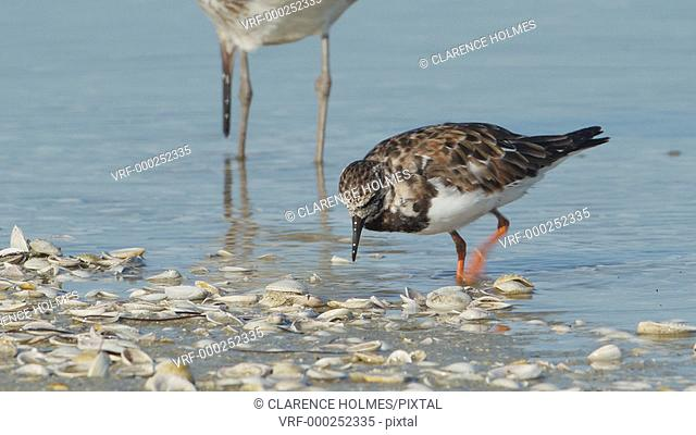 A Ruddy Turnstone (Arenaria interpres) actively pecks, probes, and flips over shells on a beach looking for small crustaceans or molluscs