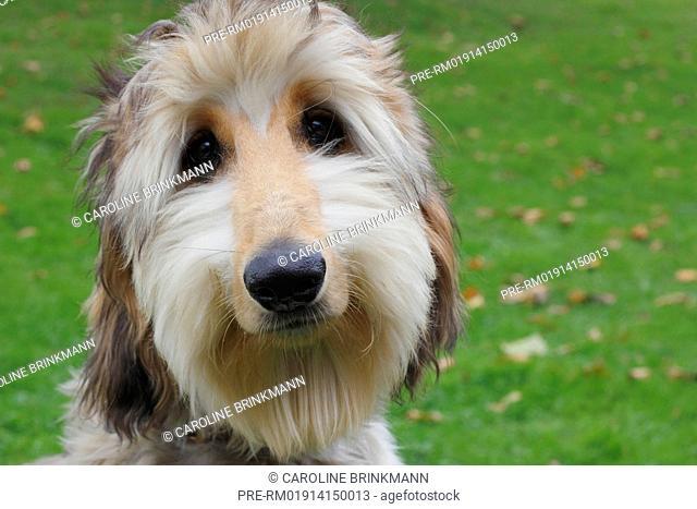Afghan Hound, 6 month old / Afghanischer Windhund, 6 Monate alt