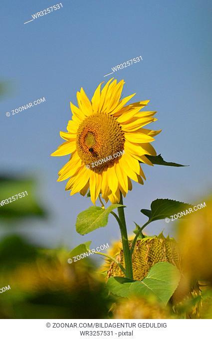 Sonnenblume, mit blauem Himmel