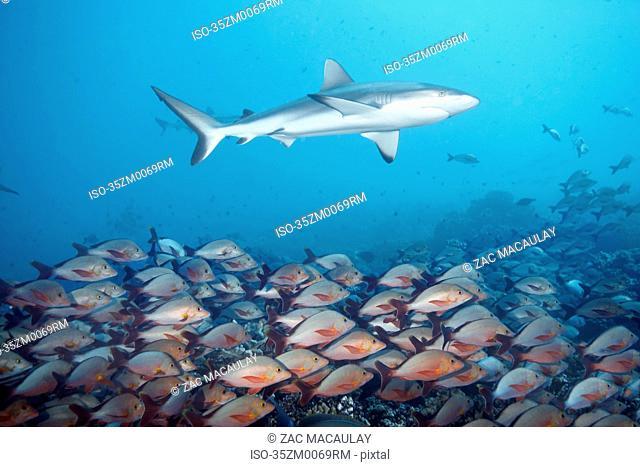 White tip reef shark over school of fish