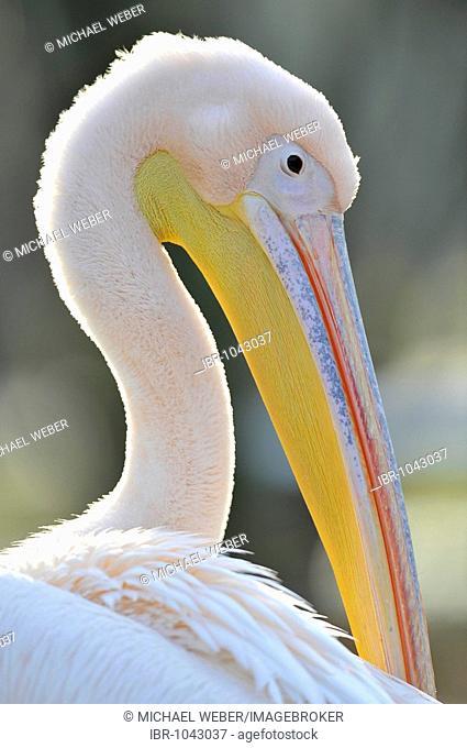 White Pelican (Pelecanus onocrotalus), preening