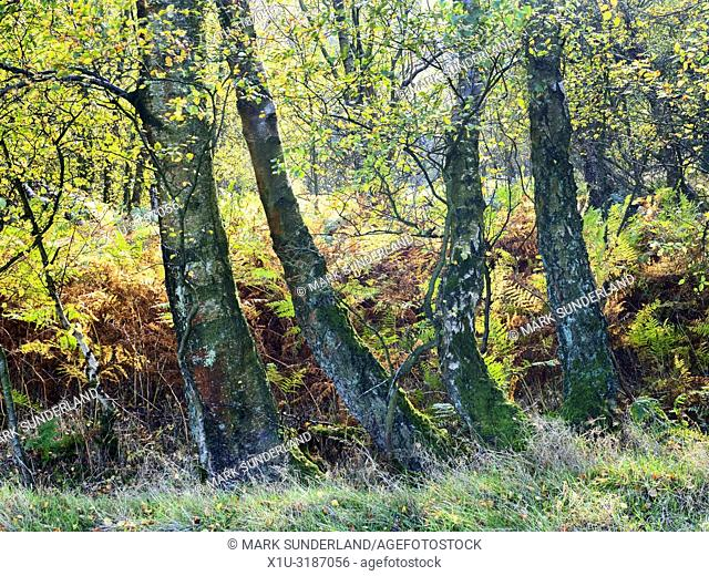 Autumn birch trees and bracken in Guisecliff Wood Pateley Bridge North Yorkshire England