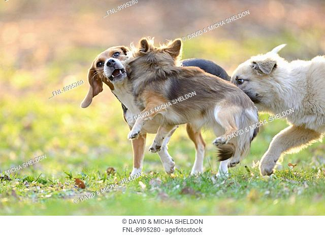 Three dogs playing in garden