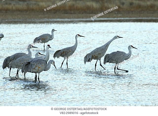 Sandhill crane at pond, Bosque del Apache National Wildlife Refuge, New Mexico