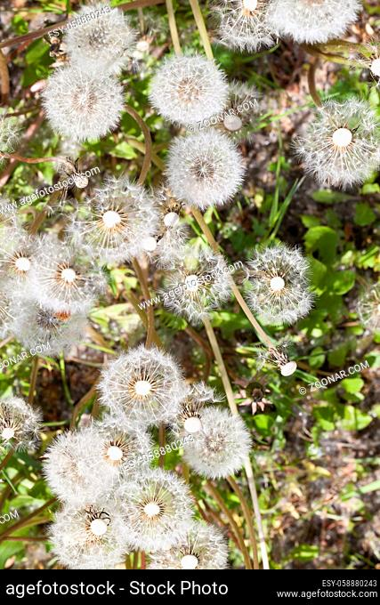field with white round dandelions, the seeds of which are scattered by the wind, close-up, top view