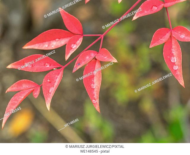 California holly (Heteromeles arbutifolia) is a common perennial shrub native to extreme southwest Oregon, California and Baja California