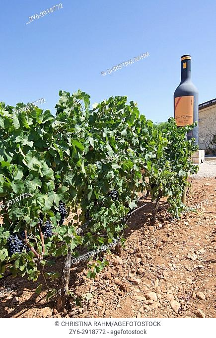Jose L. Ferrer vineyard details on a sunny day in August in Mallorca, Spain
