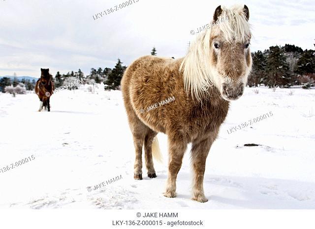 Two ponies standing in snowy field