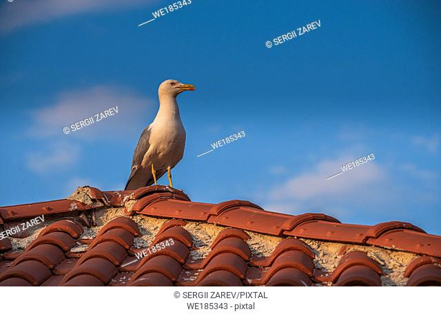 Seagull on the roof of an old house in Nessebar, Bulgaria