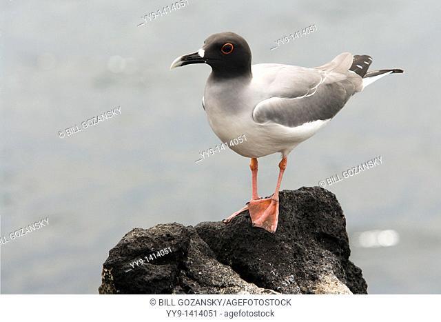 Swallow-tailed Gull - North Seymour Seymour Norte - Galapagos Islands, Ecuador