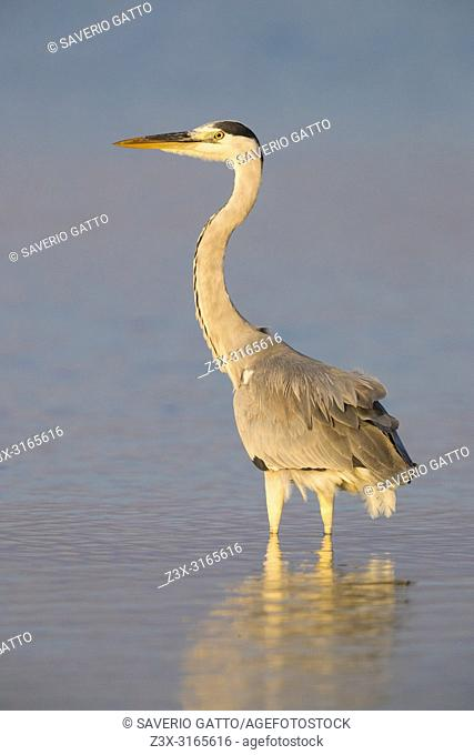 Grey Heron (Ardea cinerea), adult standing in the water at sunset
