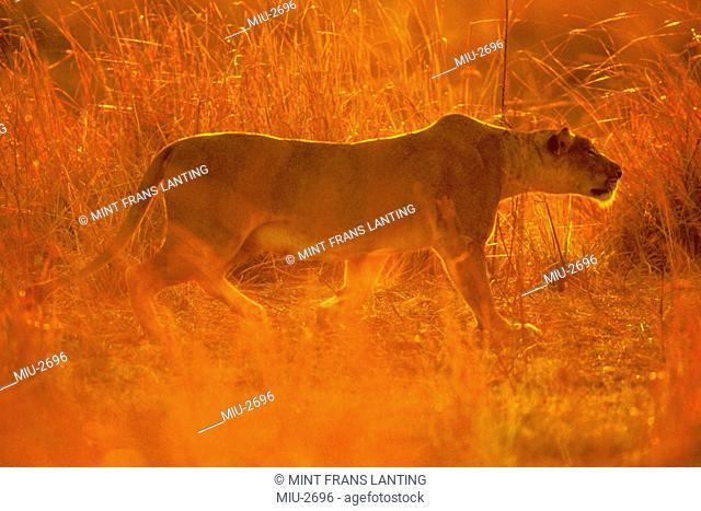 Lioness stalking, Panthera leo, Luangwa Valley, Zambia