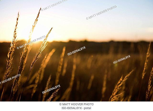 Wheat field at sunset, Missouri, USA