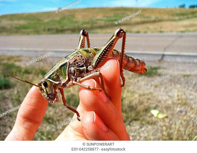 A huge grasshopper in sits on a person's hand on a sunny day in South Dakota
