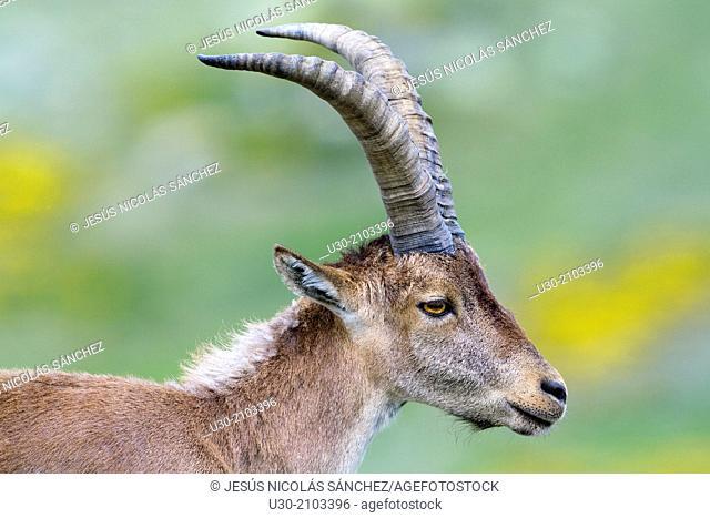 Young male of wild goat Capra pyrenaica in Sierra de Gredos Regional Park, Ávila. Castilla y León, Spain