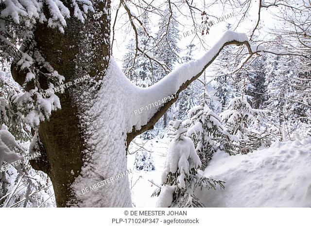 Branch of beech tree (Fagus sylvatica) laden with snow after snowfall in mixed forest in winter