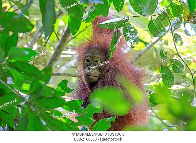 Asia,Borneo,Malaysia,Sabah,Kinabatangan river,Bornean orangutan( Pongo pygmaeus morio),young