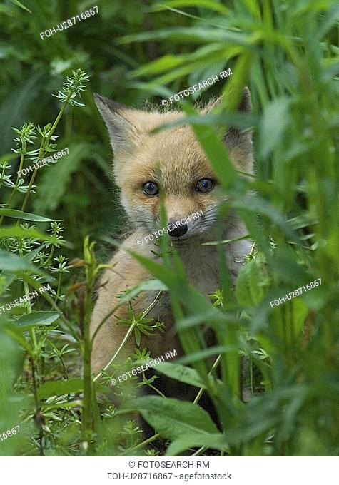 red fox kit portrait headshot afraid averse