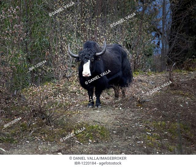 Yak (Bos grunniens) grazing in forest, Bhutan, South Asia