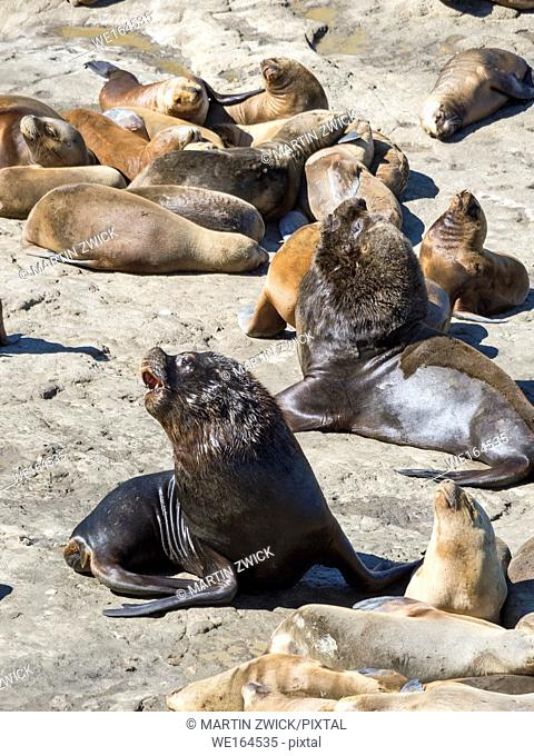 Bull with females. South American sea lion (Otaria flavescens) also called Southern Sea Lion and Patagonian Sea Lion, colony in the National Park Valdes