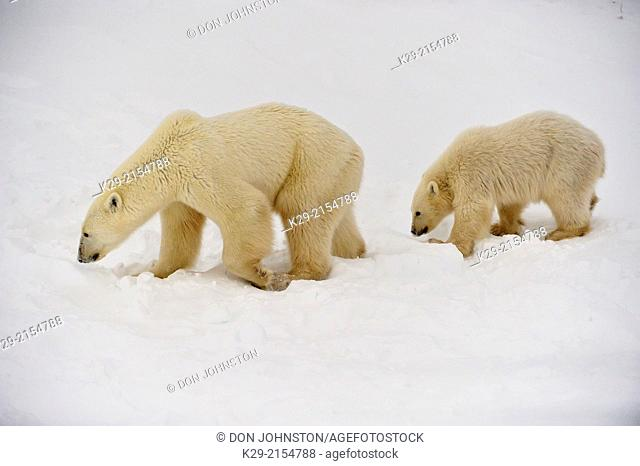 Polar Bear (Ursus maritimus) Mother with first-year cub , Wapusk NP, Cape Churchill, Manitoba, Canada