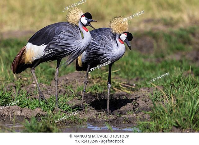 Crowned Cranes at the water pool. Masai Mara National Reserve, Kenya