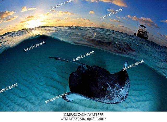 Southern Stingray, Dasyatis americana, Sandbar, Grand Cayman, Cayman Islands