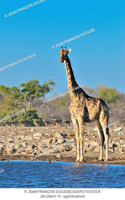 Namibian giraffe or Angolan giraffe (Giraffa camelopardalis), adult female standing at waterhole, herd of blacked-faced impalas at back, Etosha National Park