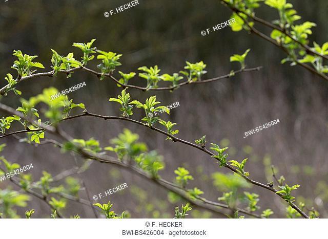 European red raspberry (Rubus idaeus), young leaves, Germany
