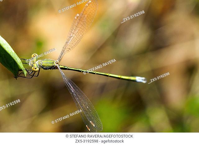 Emerald damselfly (Lestes sponsa) - Umbria, Italy