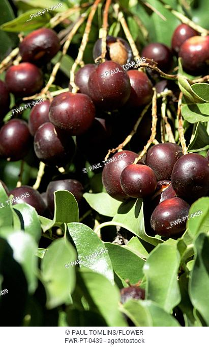 Prunus cultivar, Cherry, Red subject