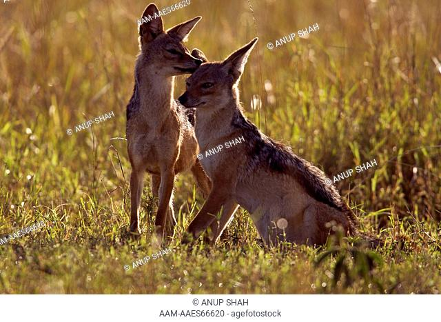 Black-backed jackals playing (Canis mesomelas). Maasai Mara National Reserve, Kenya. Aug 2008