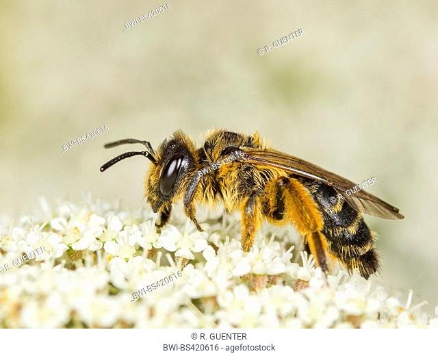 Yellow-legged Mining-bee (Andrena flavipes), Female foraging on Wild Carrot (Daucus carota), Germany