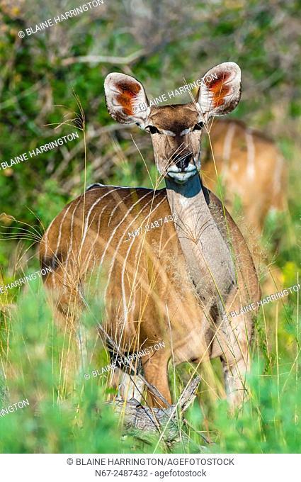 Kudu (antelope), Kwando Concession, Linyanti Marshes, Botswana