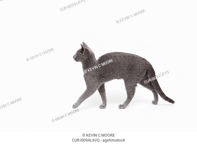 Side view studio shot of alert russian blue kitten