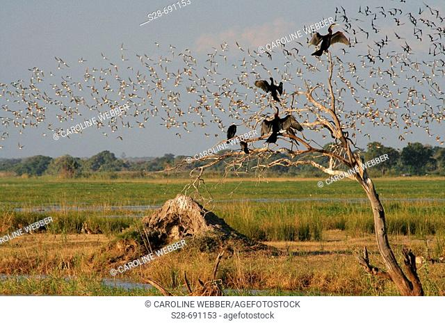 Flocks of birds at Chobe National Park. Botswana