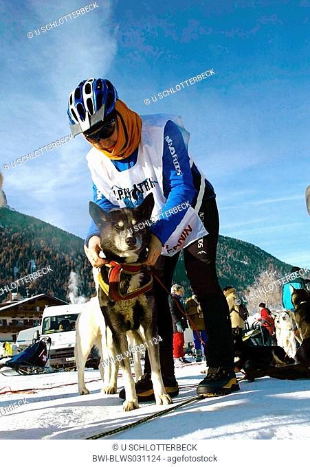 Alaskan Huskie Canis lupus f. familiaris, woman puts the harness on a dog, Alpentrail 2005, Italy, Suedtirol, Helmbahn, Sesto