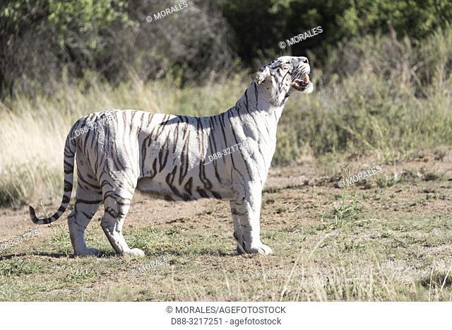 Afrique du Sud, Réserve privée, Tigre du Bengale (Panthera tigris tigris), en déplacement / South Africa, Private reserve